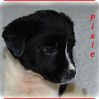 Adopt A Pet :: Pixie - Marlborough, MA