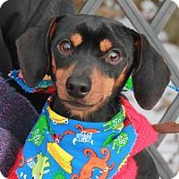 Adopt A Pet :: Georgie-PENDING - Garfield Heights, OH