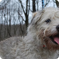 Adopt A Pet :: Cody - New Castle, PA
