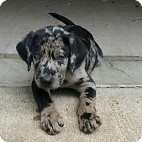 Adopt A Pet :: Spirit - Adopted! - Ascutney, VT