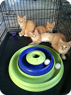 Domestic Mediumhair Kitten for adoption in Clay, New York - Orange Kittens