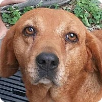 Beagle/Basset Hound Mix Dog for adoption in Spring Valley, New York - BoBo