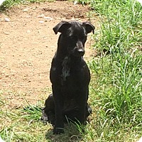 Terrier (Unknown Type, Medium)/Labrador Retriever Mix Dog for adoption in Hohenwald, Tennessee - Crissy