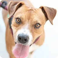 Boxer/Hound (Unknown Type) Mix Dog for adoption in Canoga Park, California - Dash