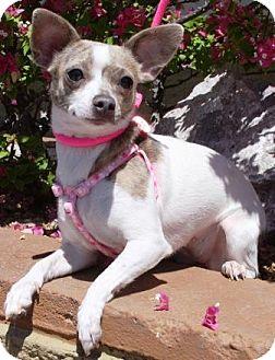 Chihuahua Mix Dog for adoption in Gilbert, Arizona - Phiggy