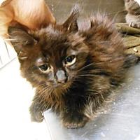 Domestic Longhair Kitten for adoption in Redding, California - Daphne