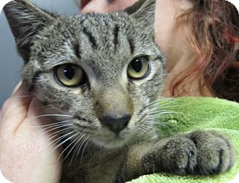Domestic Shorthair Kitten for adoption in Brooklyn, New York - Hudson: Sweet Brown Tabby Boy