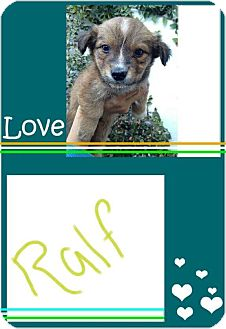 Terrier (Unknown Type, Small)/Fox Terrier (Wirehaired) Mix Puppy for adoption in LAKEWOOD, California - Ralfe
