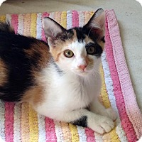 Calico Kitten for adoption in Mooresville, North Carolina - A..  Ingrid