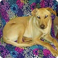 Labrador Retriever/Shepherd (Unknown Type) Mix Dog for adoption in Aurora, Colorado - Fallon