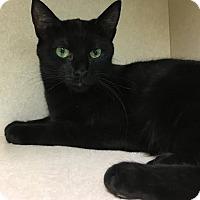 Adopt A Pet :: Genevieve - Westminster, CA