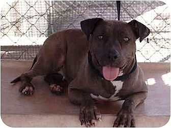 Staffordshire Bull Terrier/Weimaraner Mix Dog for adoption in West Los Angeles, California - China