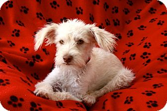 Terrier (Unknown Type, Small)/Fox Terrier (Wirehaired) Mix Puppy for adoption in san diego, California - MIssy