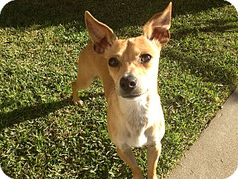 Italian Greyhound Mix Dog for adoption in Irvine, California - BAMBI