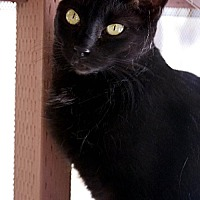 Domestic Shorthair Cat for adoption in Tucson, Arizona - Megan