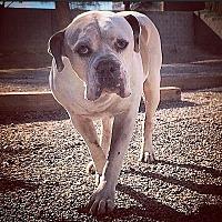 American Bulldog Dog for adoption in Las Vegas, Nevada - Zeus