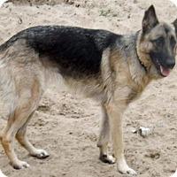 Adopt A Pet :: Sasha 234 - Citrus Springs, FL