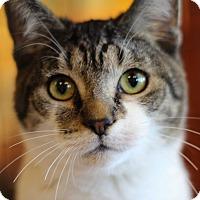 Domestic Shorthair Kitten for adoption in Marietta, Georgia - Tiger