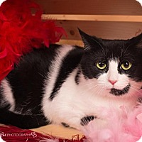Adopt A Pet :: Chesaria - Sterling Heights, MI