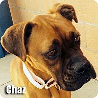 Adopt A Pet :: Chaz - Encino, CA