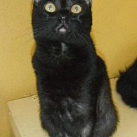 Bombay Cat for adoption in Houston, Texas - Panther