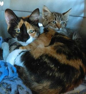 Calico Cat for adoption in Tonopah, Arizona - Miracle