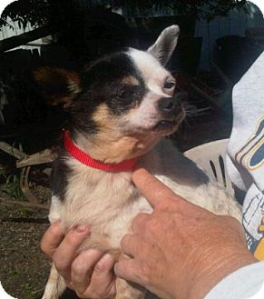 Chihuahua Dog for adoption in Chico, California - MATILDA