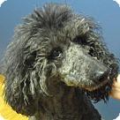 Adopt A Pet :: Ebony