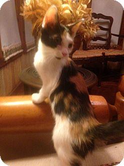 Domestic Shorthair Kitten for adoption in Clarksville, Tennessee - Callie