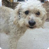 Adopt A Pet :: Bonnie - Encino, CA