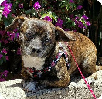 French Bulldog/Dachshund Mix Dog for adoption in Costa Mesa, California - Benny