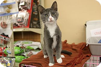 Domestic Shorthair Kitten for adoption in Rochester, Minnesota - Stella