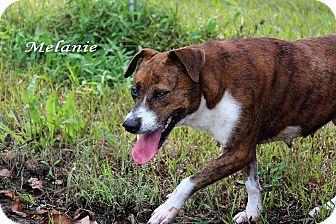 Australian Cattle Dog/Pit Bull Terrier Mix Dog for adoption in Texarkana, Arkansas - Melanie