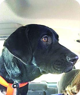 Labrador Retriever Mix Dog for adoption in Broomfield, Colorado - Rocky