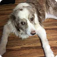 Australian Shepherd Mix Dog for adoption in San Diego, California - Eliza