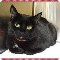 Domestic Shorthair Cat for adoption in Marietta, Georgia - BOBBI