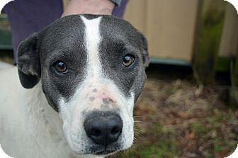 Labrador Retriever/Pointer Mix Dog for adoption in Manchester, New Hampshire - Bella