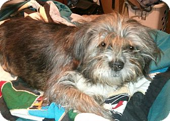 Lhasa Apso Mix Dog for adoption in Phoenix, Arizona - Bella