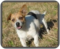 Wirehaired Fox Terrier/Jack Russell Terrier Mix Dog for adoption in Washington, D.C. - Charlie