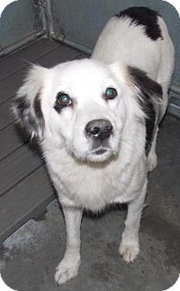 Australian Cattle Dog Mix Dog for adoption in Shirley, New York - Frosty