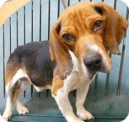 Beagle Dog for adoption in Indianapolis, Indiana - Berkley