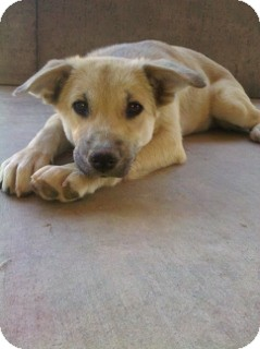 German Shepherd Dog Mix Puppy for adoption in Litchfield Park, Arizona - Tiffany - Only $85 adoption!