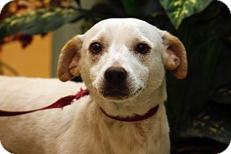 Labrador Retriever Mix Dog for adoption in Brooklyn, New York - Beautiful Bruno