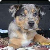 Adopt A Pet :: Kit Kat - Richmond, VA