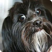 Adopt A Pet :: Samson - Canoga Park, CA