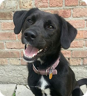 Labrador Retriever/Border Collie Mix Dog for adoption in Chicago, Illinois - Reese**ADOPTED**
