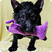 Adopt A Pet :: Allie-MEET HER@DogGoneSmart - Norwalk, CT
