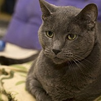 Domestic Shorthair Cat for adoption in Lombard, Illinois - Binxi