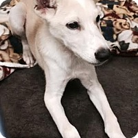 Adopt A Pet :: Paddington-pending adoption - Manchester, CT