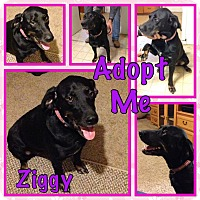 Adopt A Pet :: Ziggy - Cheney, KS